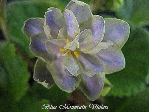 African Violet Mirror Image | eBay Mirror Image (10236) P. Sorano/LLG:  Double gray-blue star/wide green edge.  Medium green, serrated.  Large.