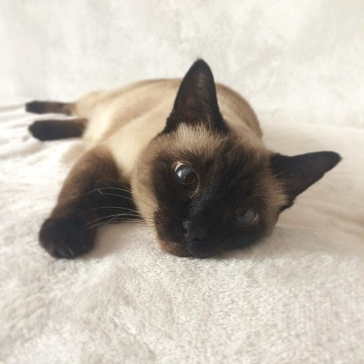 Pin By Jennifer Elrich On Cats Siamese Cats Cat Aesthetic Cats