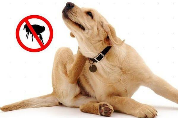 Cómo salvar a tu perro de las pulgas