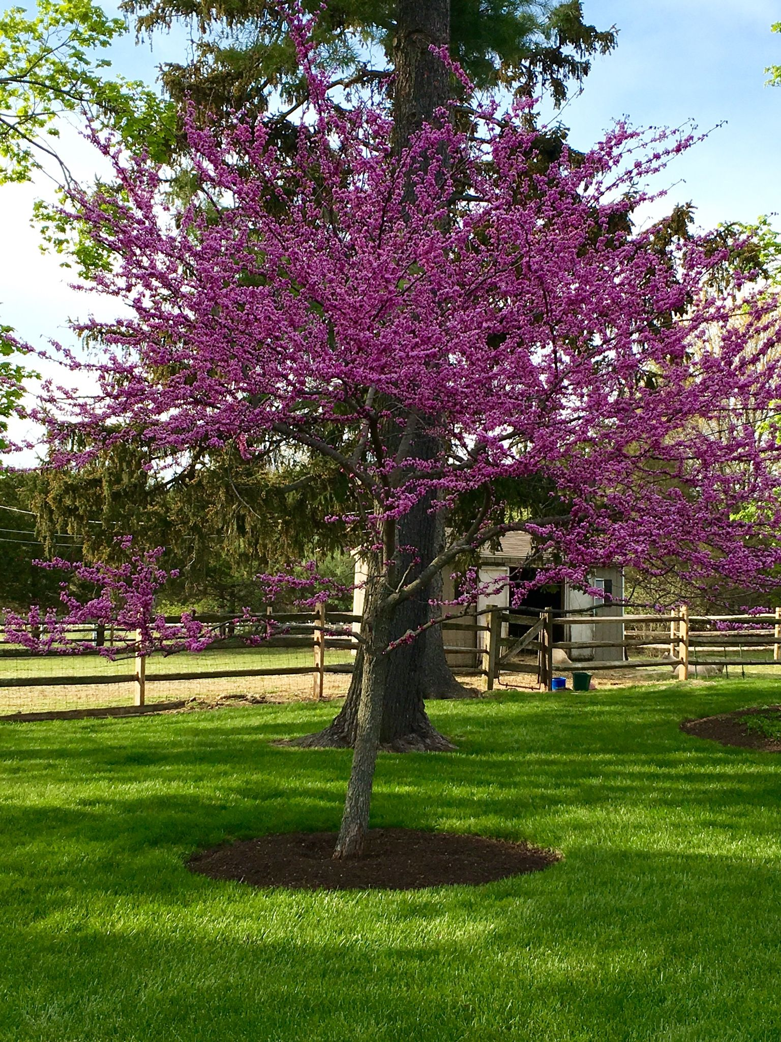 Eastern Red Bud Tree Adding Early Spring Color To The Landscape Spring Landscaping Patio Trees Landscaping Trees