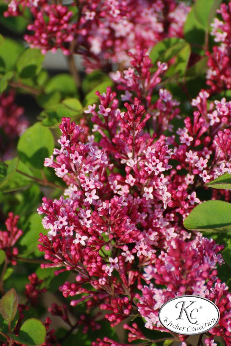 Syringa microphylla little leaf lilac zone uts pinkwhite purple
