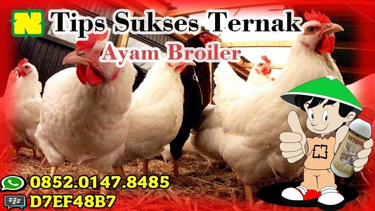 Pengaruh Waktu Aplikasi Vitamin Ternak Nasa Pada Ternak Ayam Pedaging Ternak Ayam Waktu Tanaman
