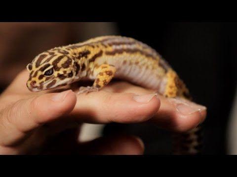 7 Care Tips For Leopard Geckos Pet Reptiles Unusual Animals Leopard Gecko Reptiles Pet