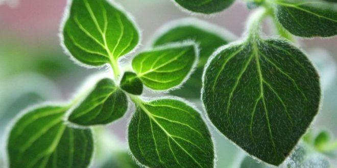 Beneficios y forma de consumir el orégano