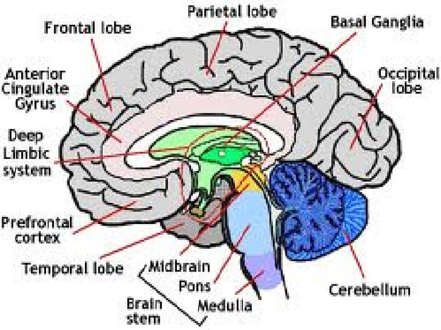 Human Brain Model Homemade - Bing Images | Biology | Pinterest