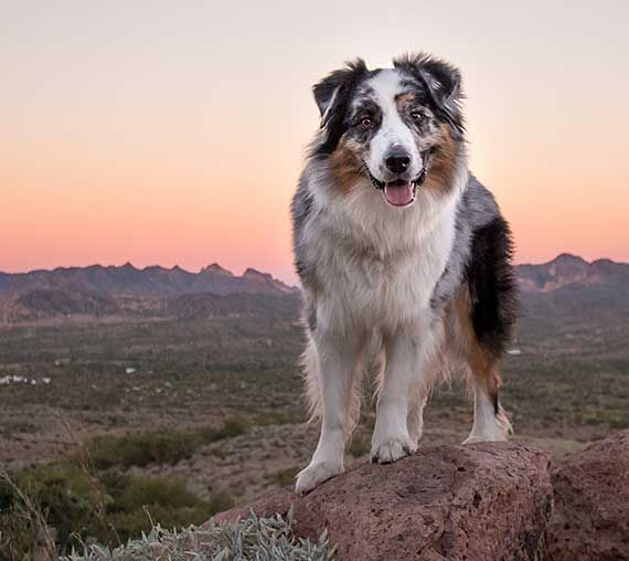 Australian Shepherd Photo Of The Month Aussie Dogs Australian Shepherd Dogs Aussie Puppies