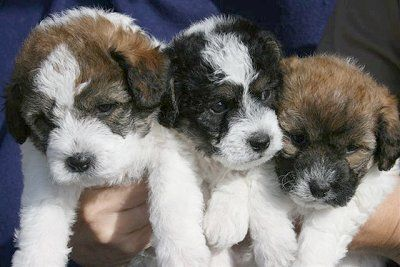 Litter Of Jackie Bichon Puppies These Are The Females Of The