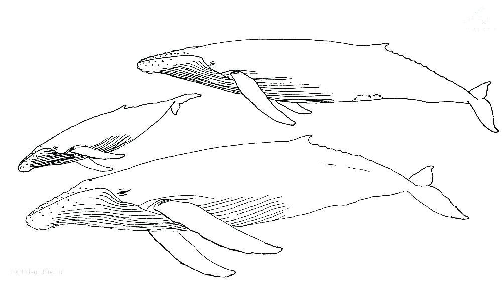 whales coloring pages humpback whale ng sheets killer whale ng es ...