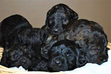 Litter Of 8 Labradoodle Puppies For Sale In Plymouth Ne Adn
