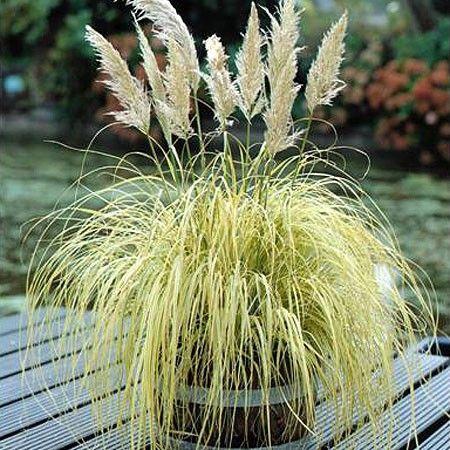 herbe des pampas blanche cortaderia selloana pinterest herbe de la pampa herbe et terre. Black Bedroom Furniture Sets. Home Design Ideas