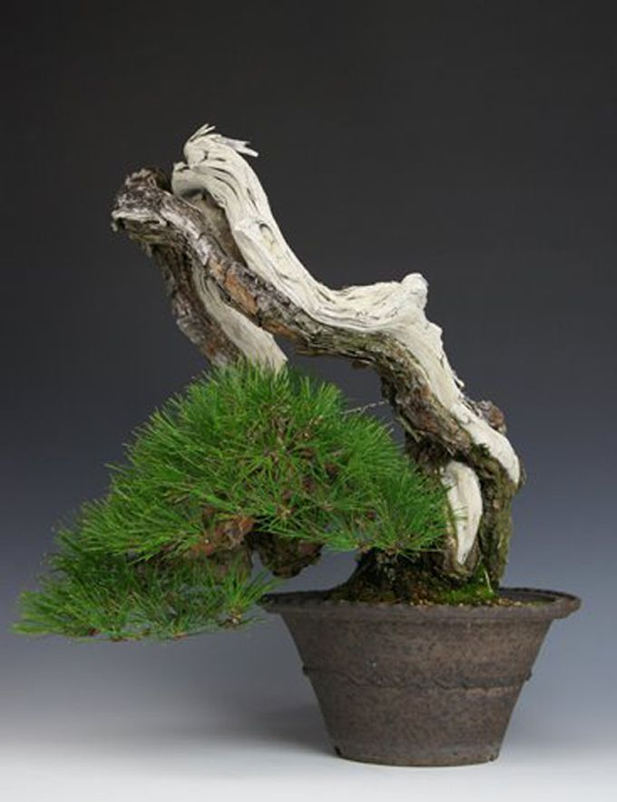 An Embarrassing Possibility Wiring All The Way Out To The Tips Bill S Japan Bonsai Tours The Moss Myth Bonsai Bonsai Tree Pine Bonsai