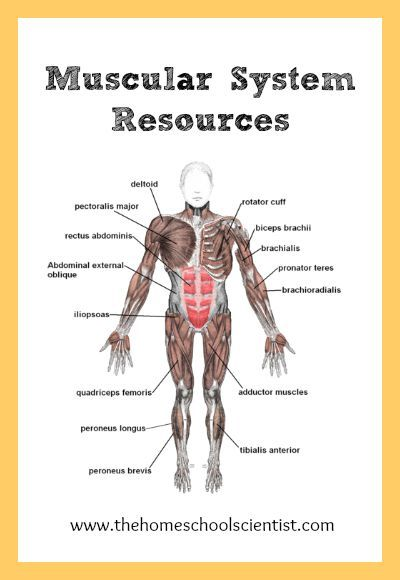 Muscular System Lesson Resources | Homeschool Anatomy | Pinterest ...
