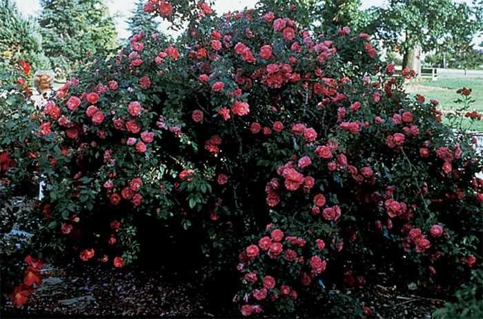 Front Yard Cottage Garden John Cabot Climbing Roses: Landscaping: Roses Galore