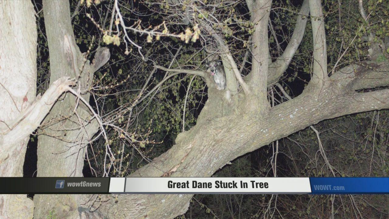 Great Dane Stuck In Tree Buy Puppies Best Dogs Pet Store