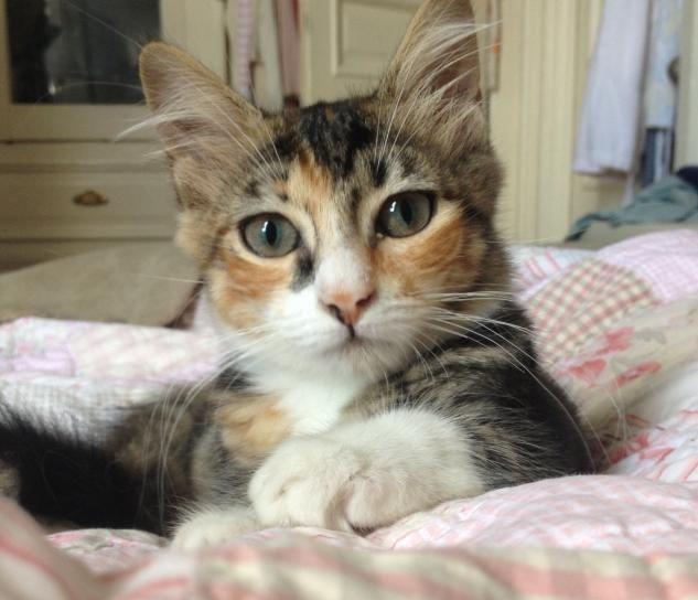 Adopt Delilah On Petfinder Animal Rescue Calico Cat Animals