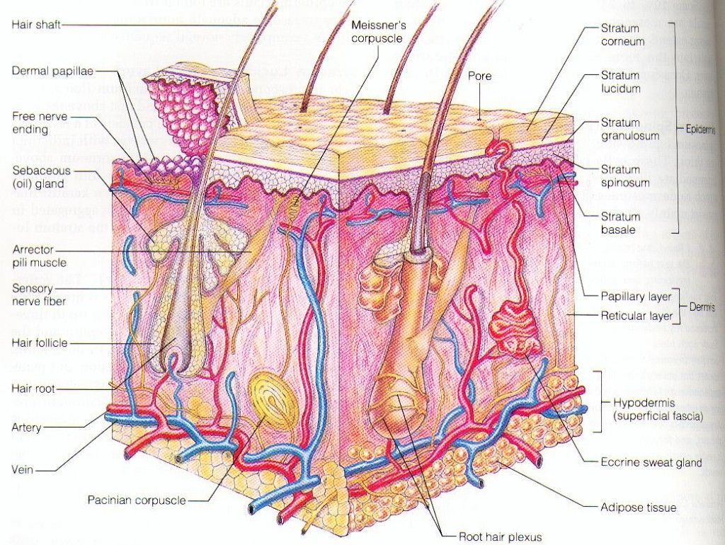 Magnified Anatomy Of Skin Diagram Not Lossing Wiring Diagram