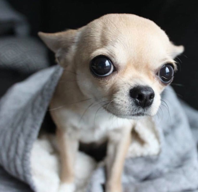 Spunkypaws Chihuahuas Pup In A Cup Www Facebook Com Spunkypaws
