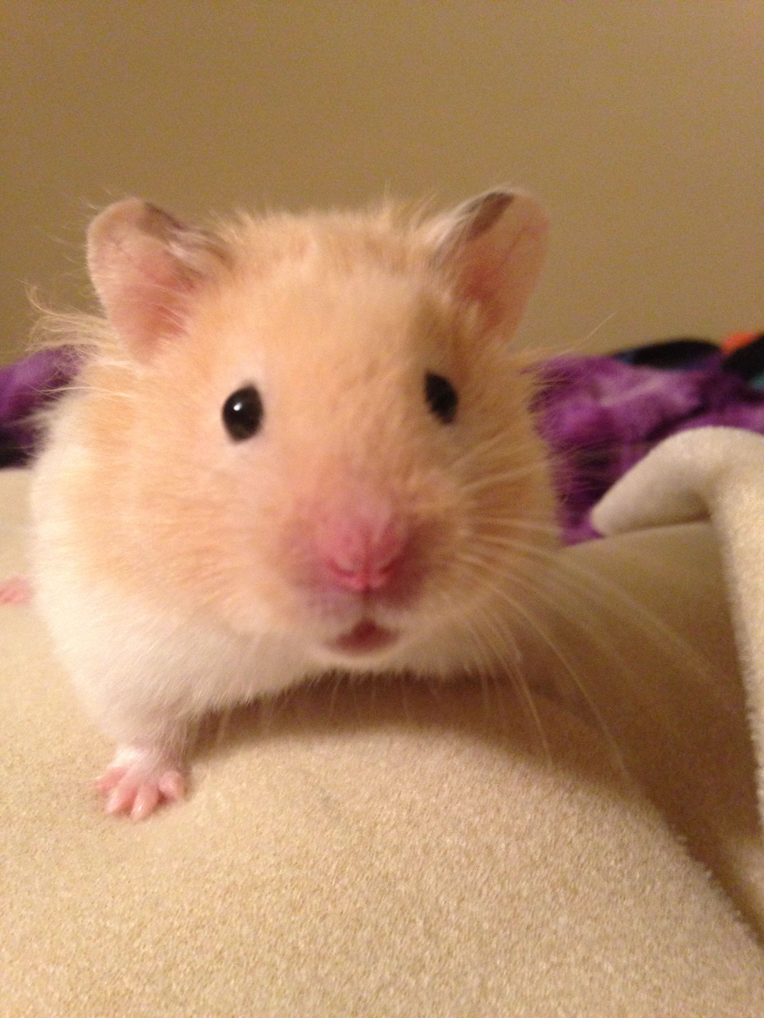 My Hector The Long Haired Cream Banded Syrian Hamster Cute Hamsters Syrian Hamster Hamster