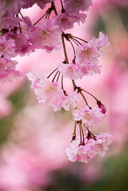 Weeping Cherry Beautiful Flowers Pretty Flowers Love Flowers