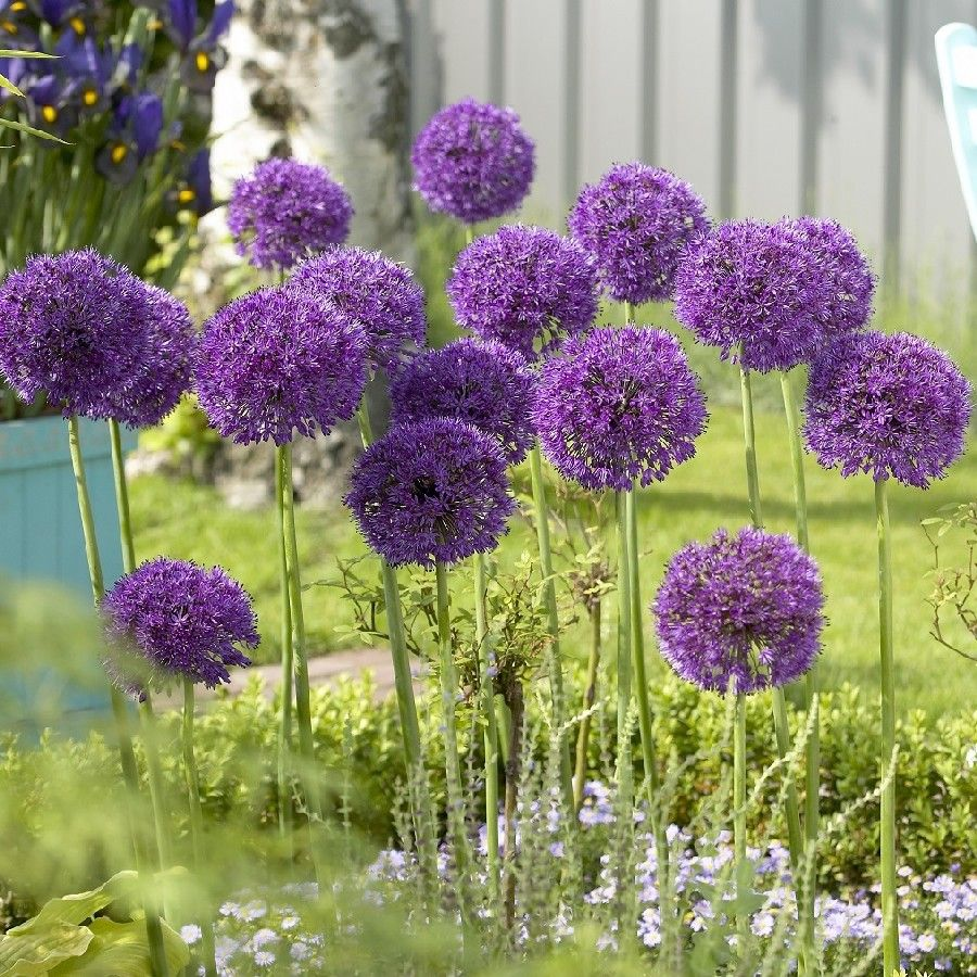 The aptly named Purple Sensation allium will provide an unusual and ...
