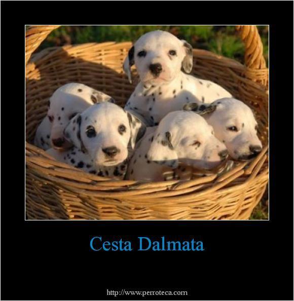 Perros Dalmata