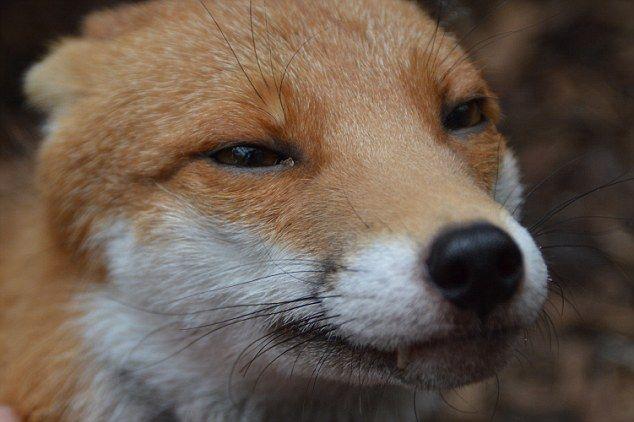 Britain S Most Friendly Fox Is Too Tame To Return To The Wild Pet Fox Friendly Fox Fox