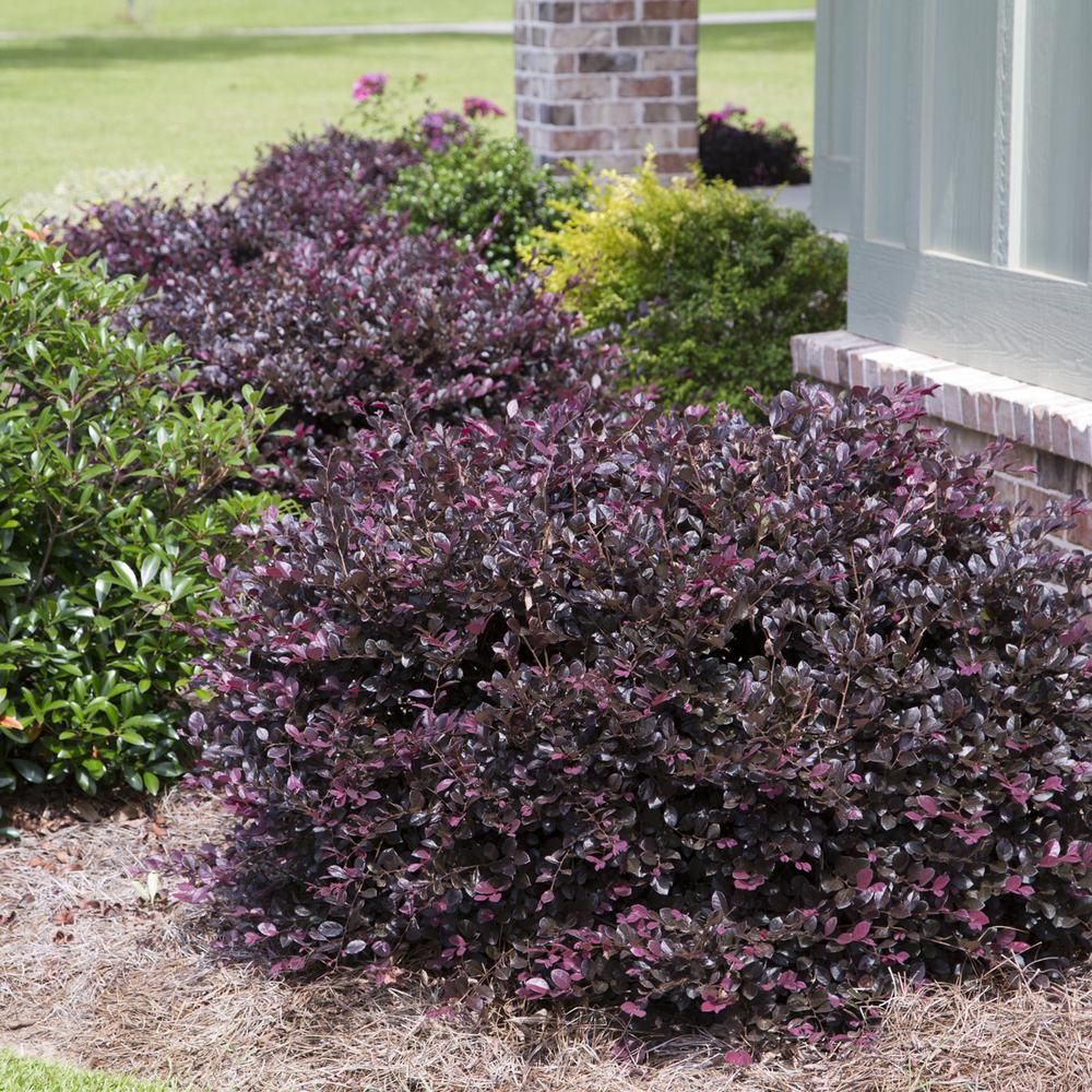 2 5 qt purple diamond loropetalum southern living for Landscaping shrubs