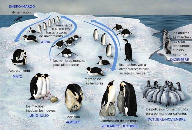 El Pingüino Emperador En Peligro Por El Cambio Climático Veoverde Pinguino Emperador Ciclos De Vida Animales En Peligro De Extincion