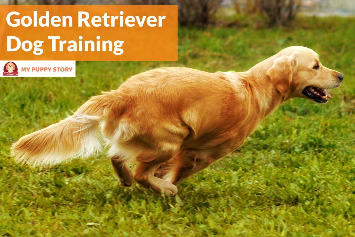 Training Your Golden Retriever My Puppy Story Dog Training Dog