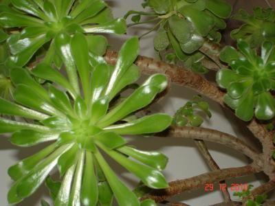 Plante grasse venue d 39 algerie qu 39 est ce que c 39 est - Jardin plante grasse ...