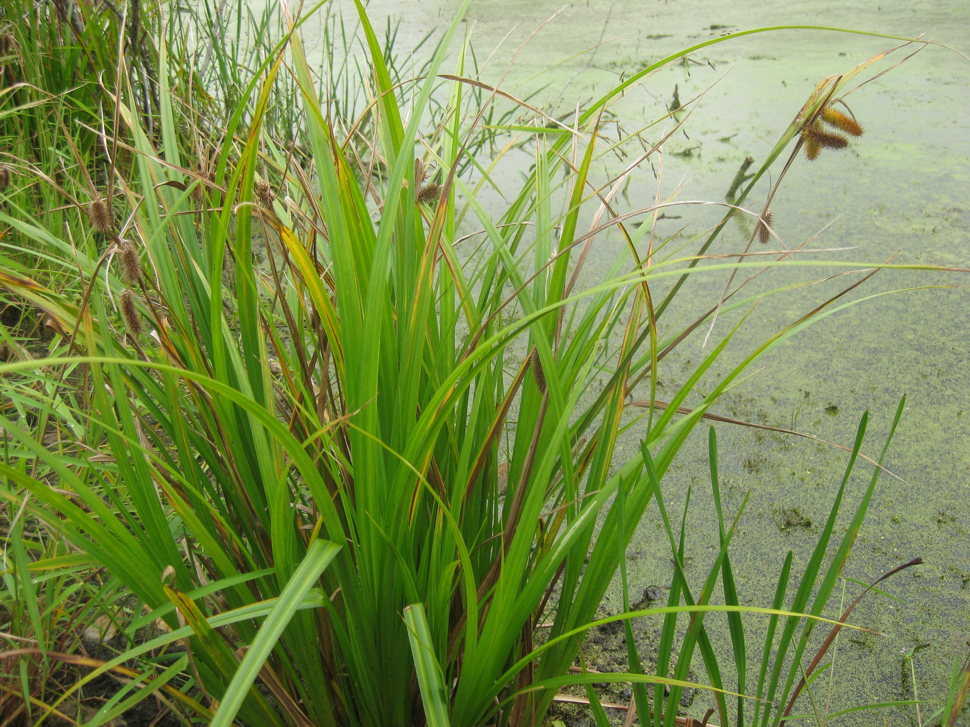 Carex Comosa Bearded Sedge Obl This Clump Forming Sedge 2 4 Provides Food And Cover For Many Wetland Birds Including Virgin Wetland Native Plants Shrubs