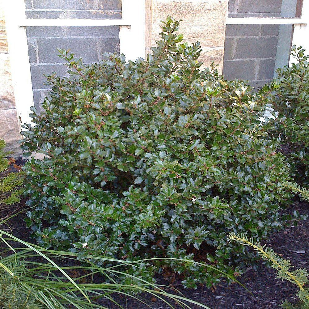 Photo of Blue Prince Holly – Ilex – Hardy Broadleaf Evergreen – 4″ Pot