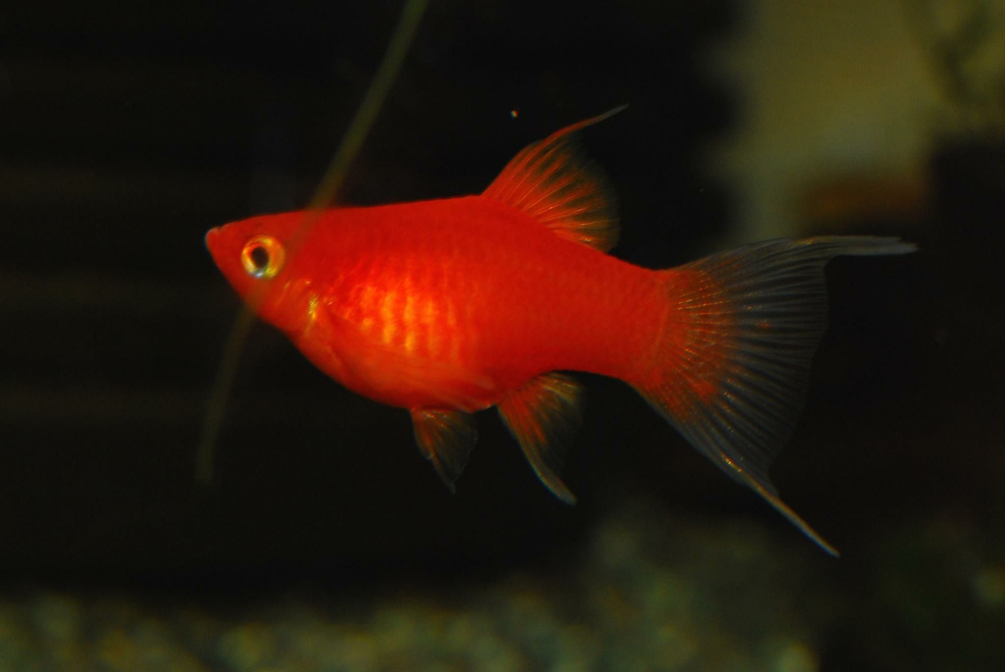 Beautiful red platy with extended finnage. | Improved by patience& ...