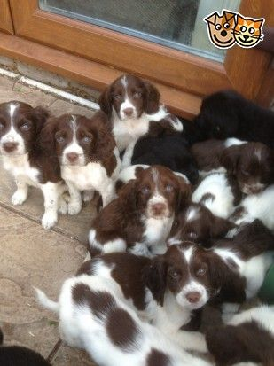 Springer Spaniel Puppies 🐶 | English Springer Spaniels