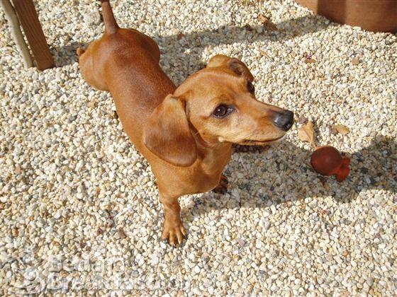 Lily the dachshund --such a cute dog!  A Healthy Dog is a Happy Dog / www.PetWellbeing.org