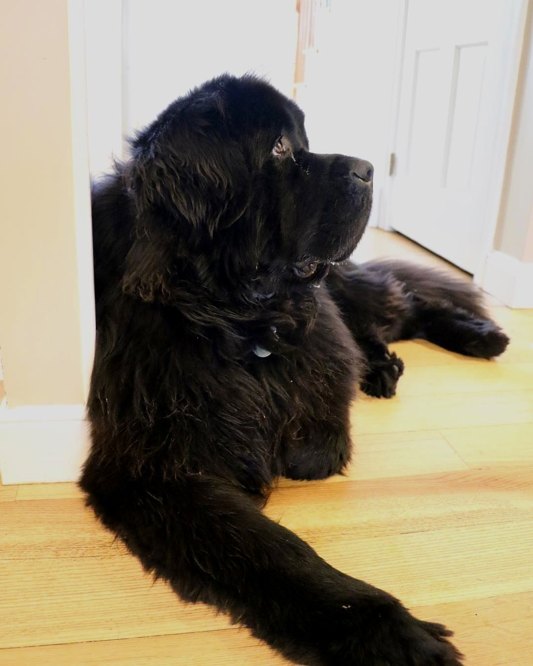 I Have A Doctorate In Longing Gazes Credit To Oliverthenewf Doubletap Tag A Friend Below Follow Us If You Newfoundland Dog Big Dogs Newfoundland Puppies