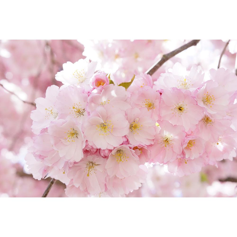 Online Orchards Accolade Cherry Blossom Tree Bare Root Flch004 The Home Depot Japanese Cherry Tree Blossom Trees Ornamental Cherry