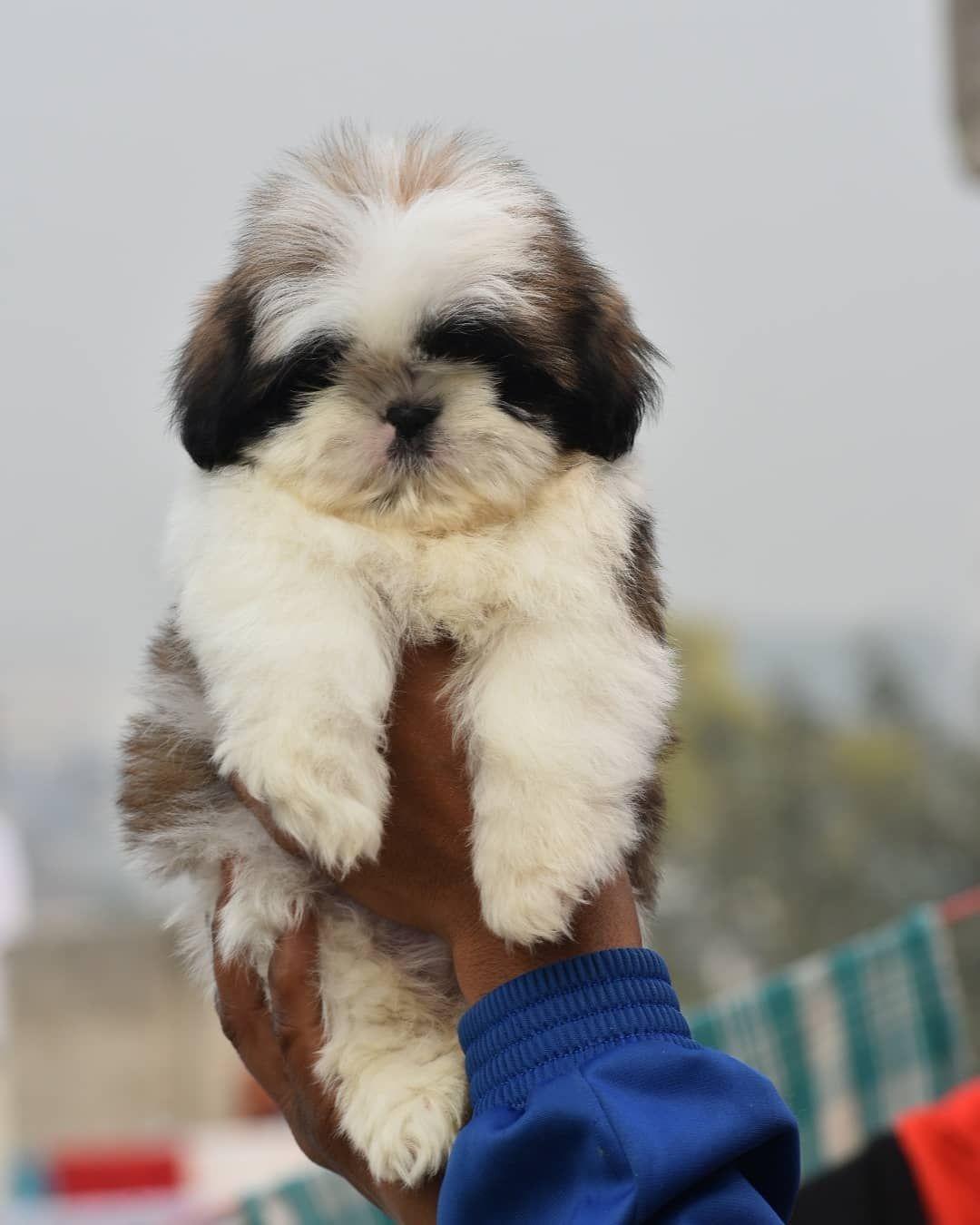 Shih Tzu Puppies Price In Delhi