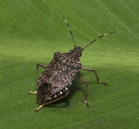 Nasty, nonnative stink bug hits Texas -- but not Dallas yet