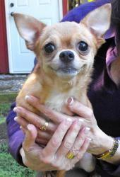 Adopt Kaya Adopted On Chihuahua Chihuahua Dogs Dogs