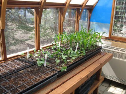 Flats Of Greenhouse Vegetable Seedlings Almost Ready For Transplanting