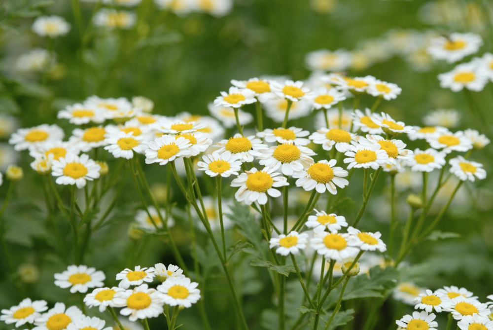 How To Grow And Care For Chamomile Chamomile Seeds Chamomile Plant Vertical Herb Garden
