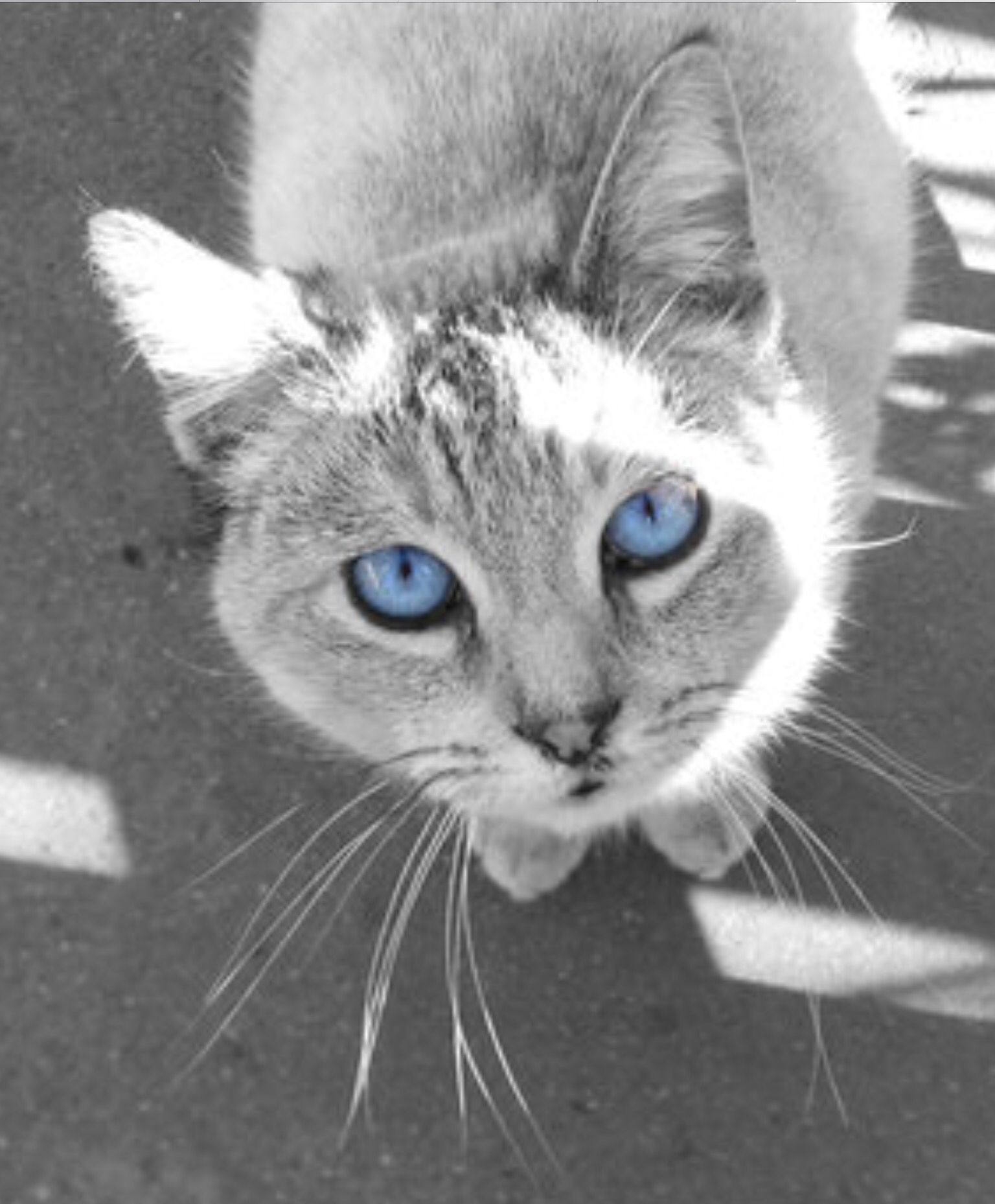 Silver cat with clear blue eyes Grey cats, Cat with blue