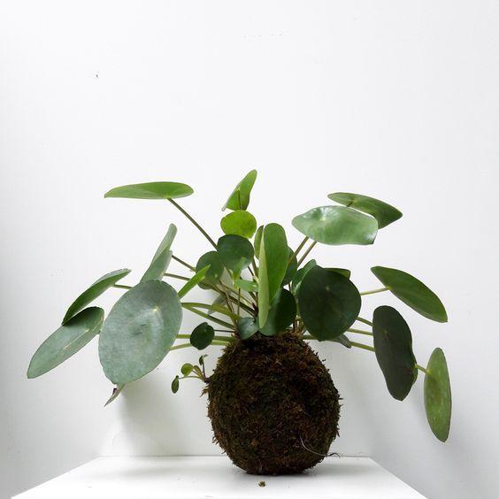 peperomioides kokedama pilea kokedama plants bonsai a string garden. Black Bedroom Furniture Sets. Home Design Ideas