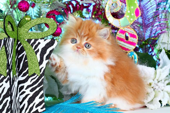 Red White Persian Kittens For Sale Persian Kittens For Sale Persian Kittens White Persian Kittens
