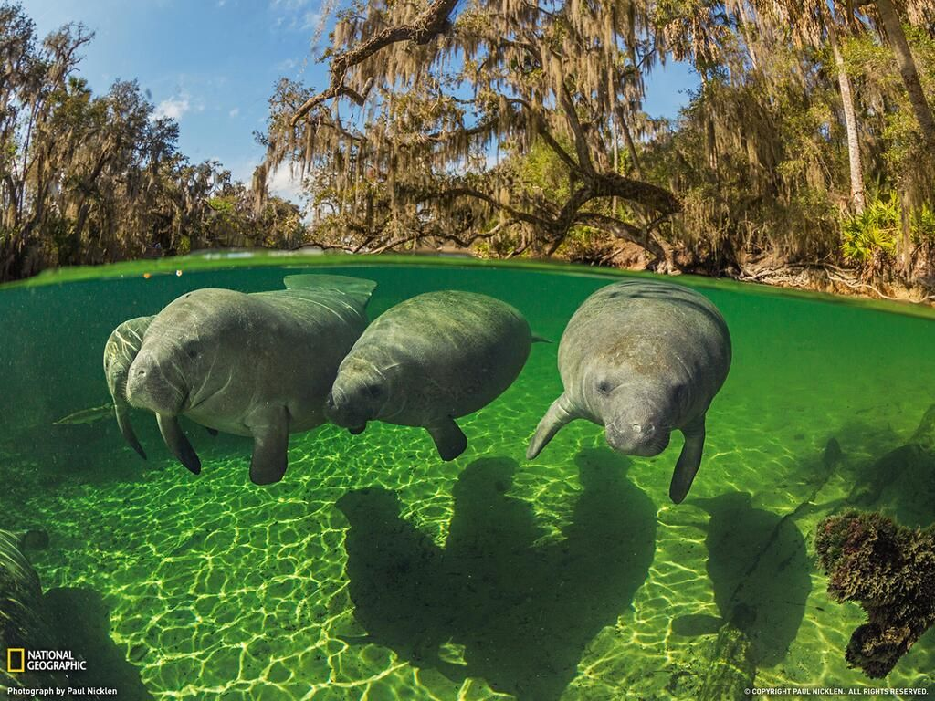 Florida manatees swimming in a spring