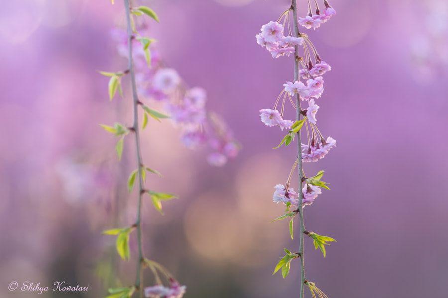 Sakura by Shihya Kowatari - Photo 149334679 / 500px