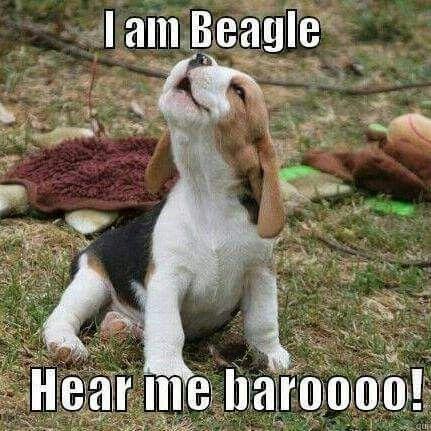 Beagle Dog Breed Information Beagle Funny Cute Beagles Beagle Dog