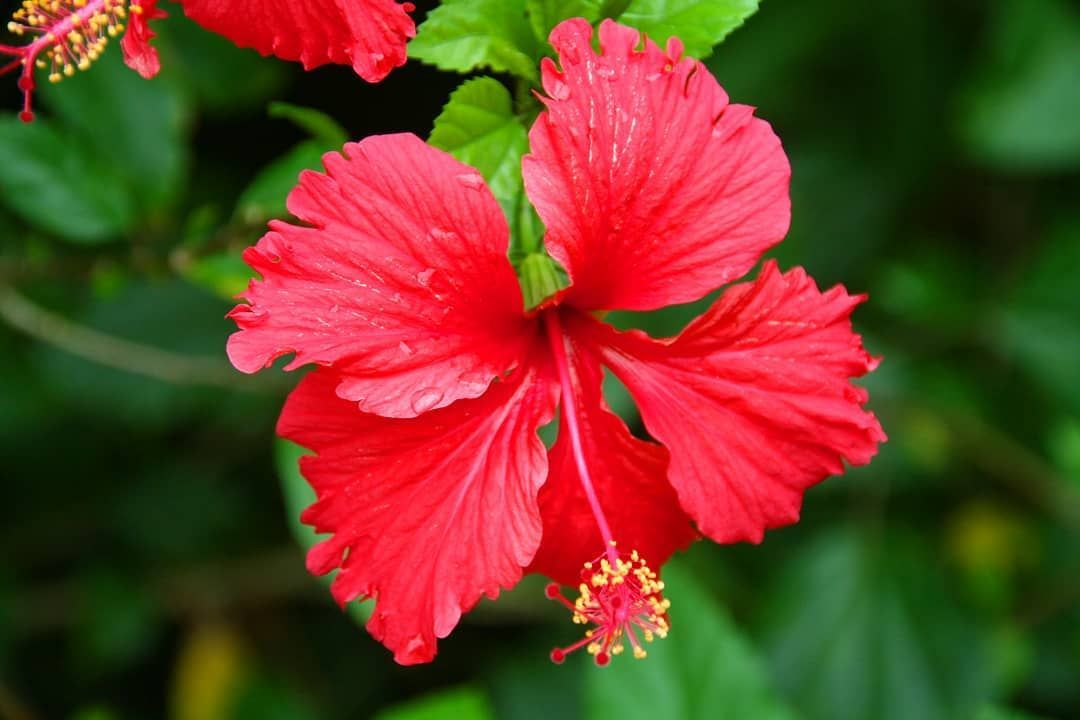 Fantastic Photos Red Hibiscus Ideas Increase Warm Hibiscus For A Large Daring Search On Your Lawn Outdoor Patio In 2020 Hibiscus Growing Hibiscus Plant Photography
