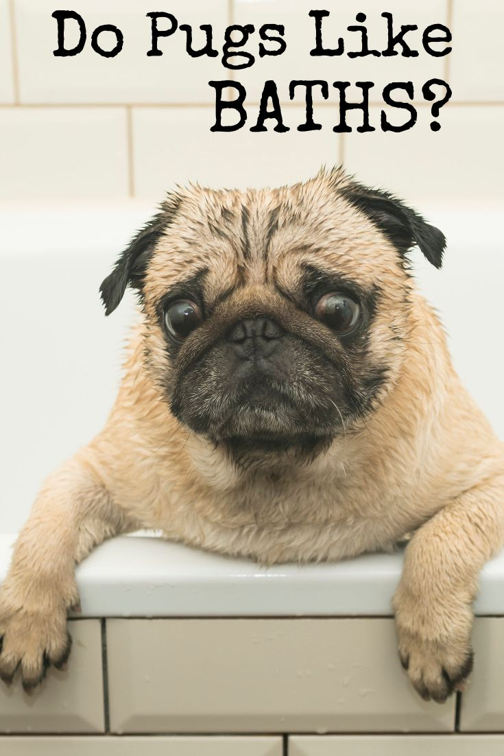 Do Pugs Like Baths What You Need To Know About Pug Care Pugs
